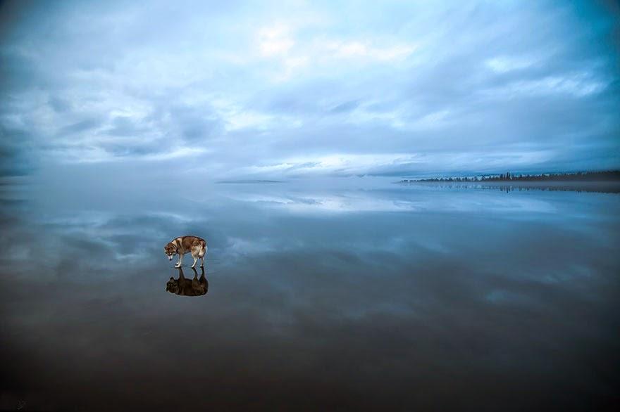 siberian husky playing frozen lake fox grom-1