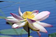Nei laghi mantovani sono presenti i fiori di loto (nelumbium nucifera), .