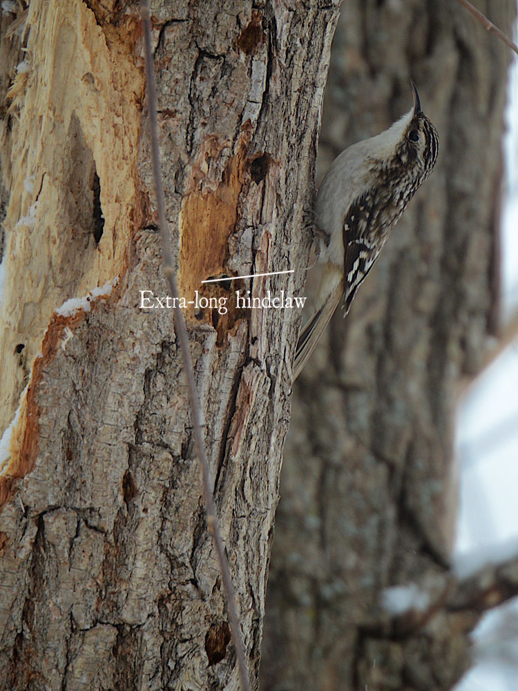 Closeup of the extra-long hind claw or back toe nail on a Brown Creeper.