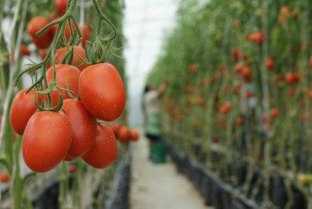 Stat Veritas Tutores Para Tomate Ii