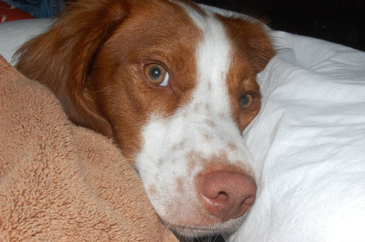 Brittany spaniel with tail