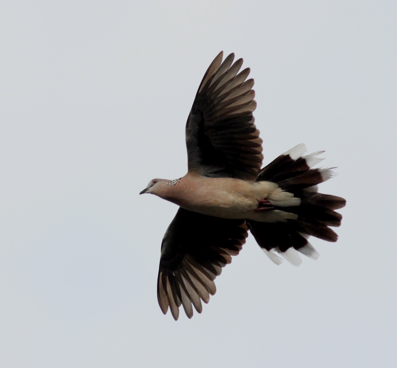 Spotted dove flying - photo#6