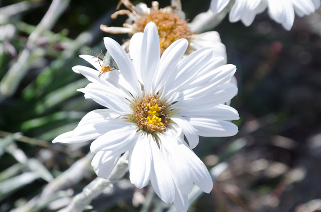 alpine wild flower