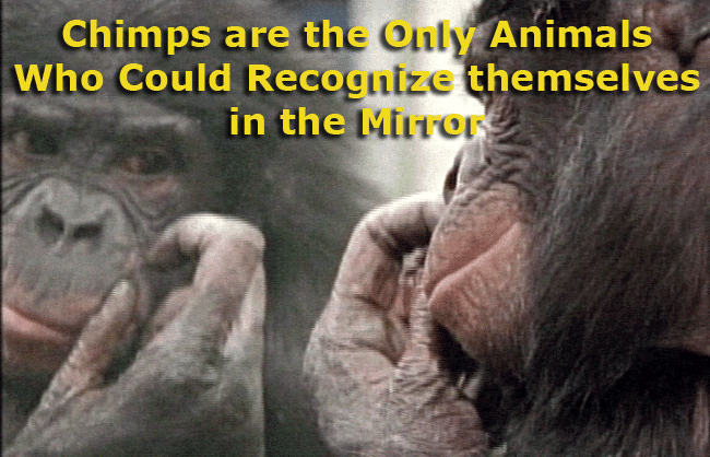 Trivia: Chimps are the Only Animals Who Could Recognize themselves in the Mirror