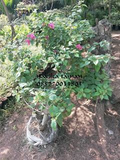 JUAL BONSAI BOUGENVILE (bunga kertas) | JASA TUKANG TAMAN | SUPLIER TANAMAN HIAS