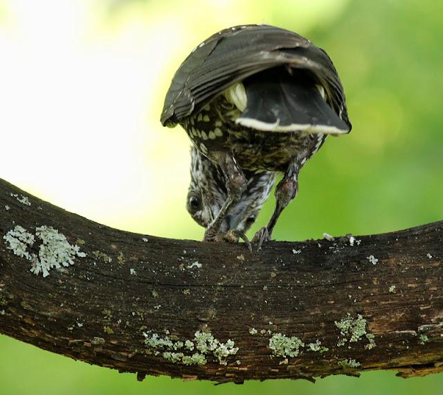 Smalnäbbad nötkråka