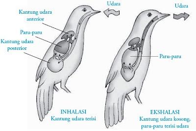 Mekanisme pernapasan pada burung