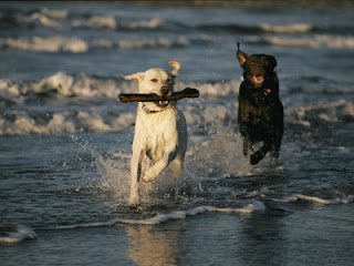 Labrador Retrievers picture