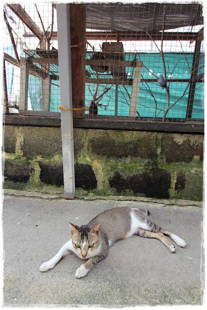 local cat kuching Singapore