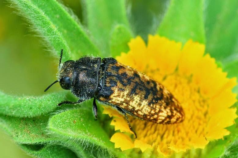 Acmaeodera affinis