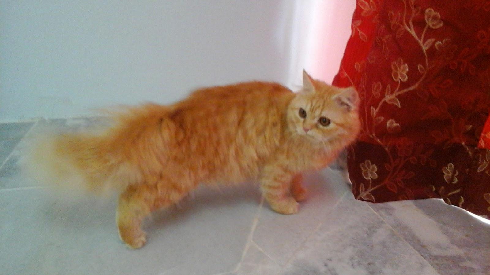kucing oren