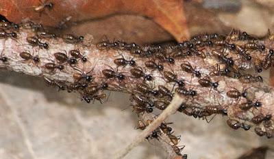processional termites (Hospitalotermes sp)