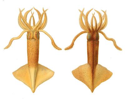 calamar ganchudo Onychoteuthis banksii