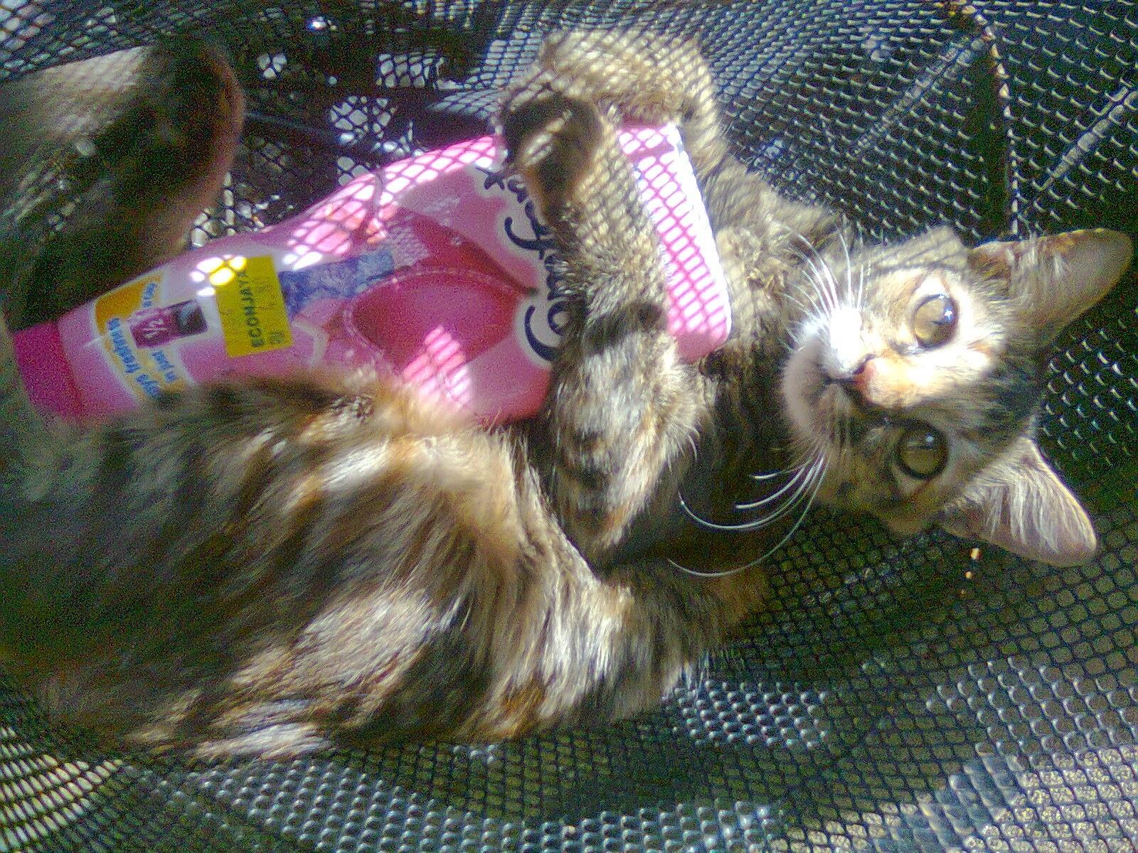 Mueeza Kucing Haiwan Peliharaan Rasulullah