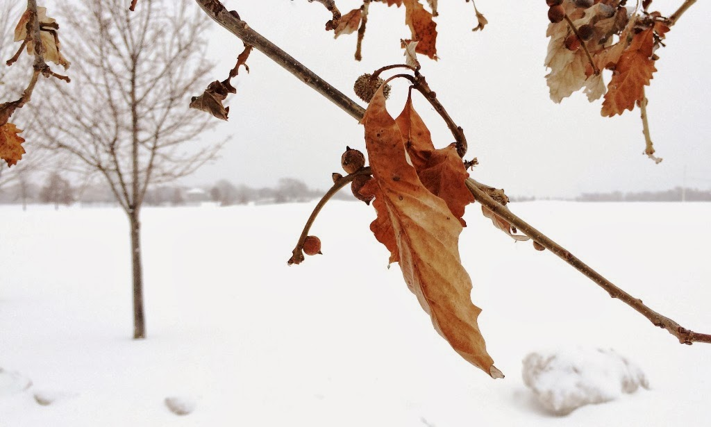 A lone leaf clings to a branch in snow-covered Frontier Park, Naperville, Illinois.