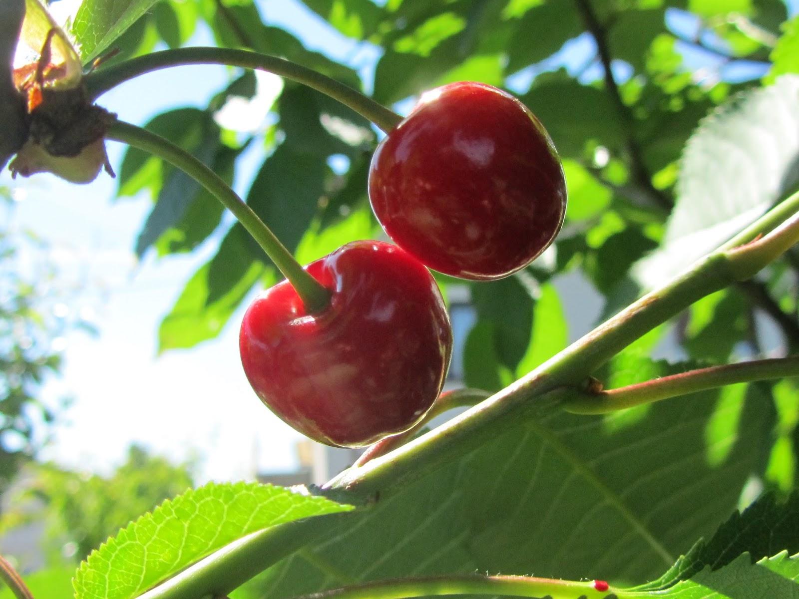 Come coltivare il ciliegio prunus avium il gusto della for Pianta di ciliegio