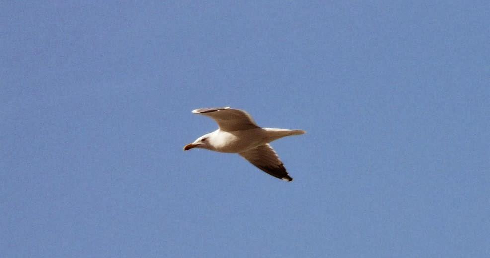 gaviota volando sobre la playa de sopelana