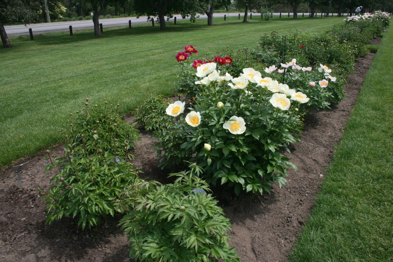 Menards Landscaping Bushes : Peony society a tour of the central experimental garden in ottawa