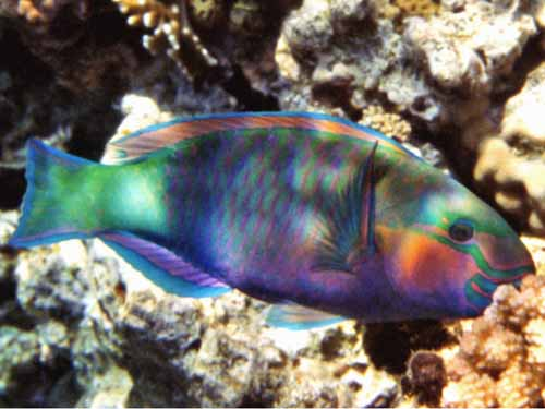 Info junction blog rainbow parrot fish for Pictures of parrot fish