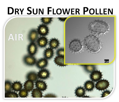 Dry Sunflower Pollen
