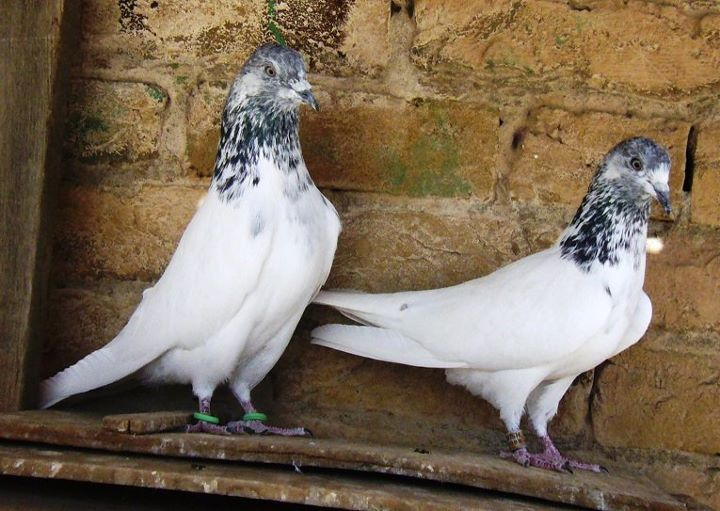 bothersome beauty pigeons essay