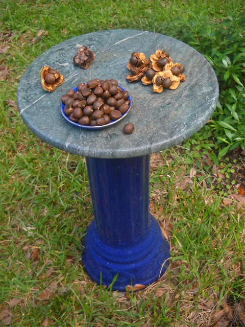Camellia seeds and seedpods