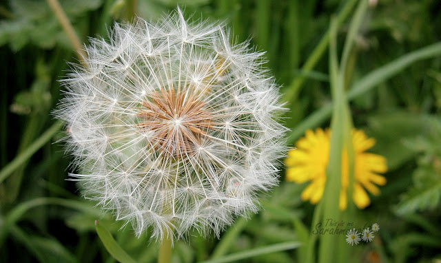 dandelion clock seed macro photo
