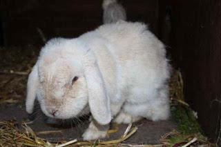 penyekit kelinci