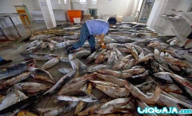 pabrik pengolahan hiu di china | liataja.com