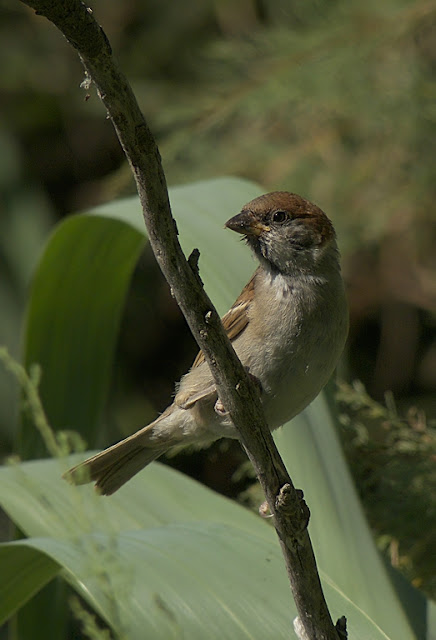 juvenil de gorrión molinero (Passer montanus)
