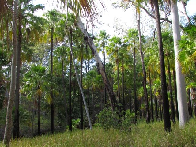 Palms at Carnarvon Gorge