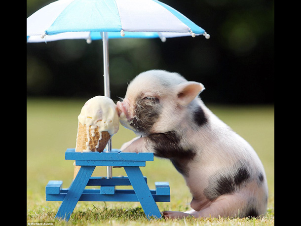 Cute pig storys baby teacup pig eating icecream - What do miniature pigs eat ...