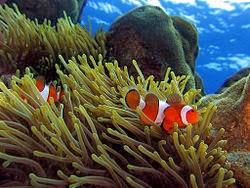 tugas ikan badut membersihkan sisa makanan anemon