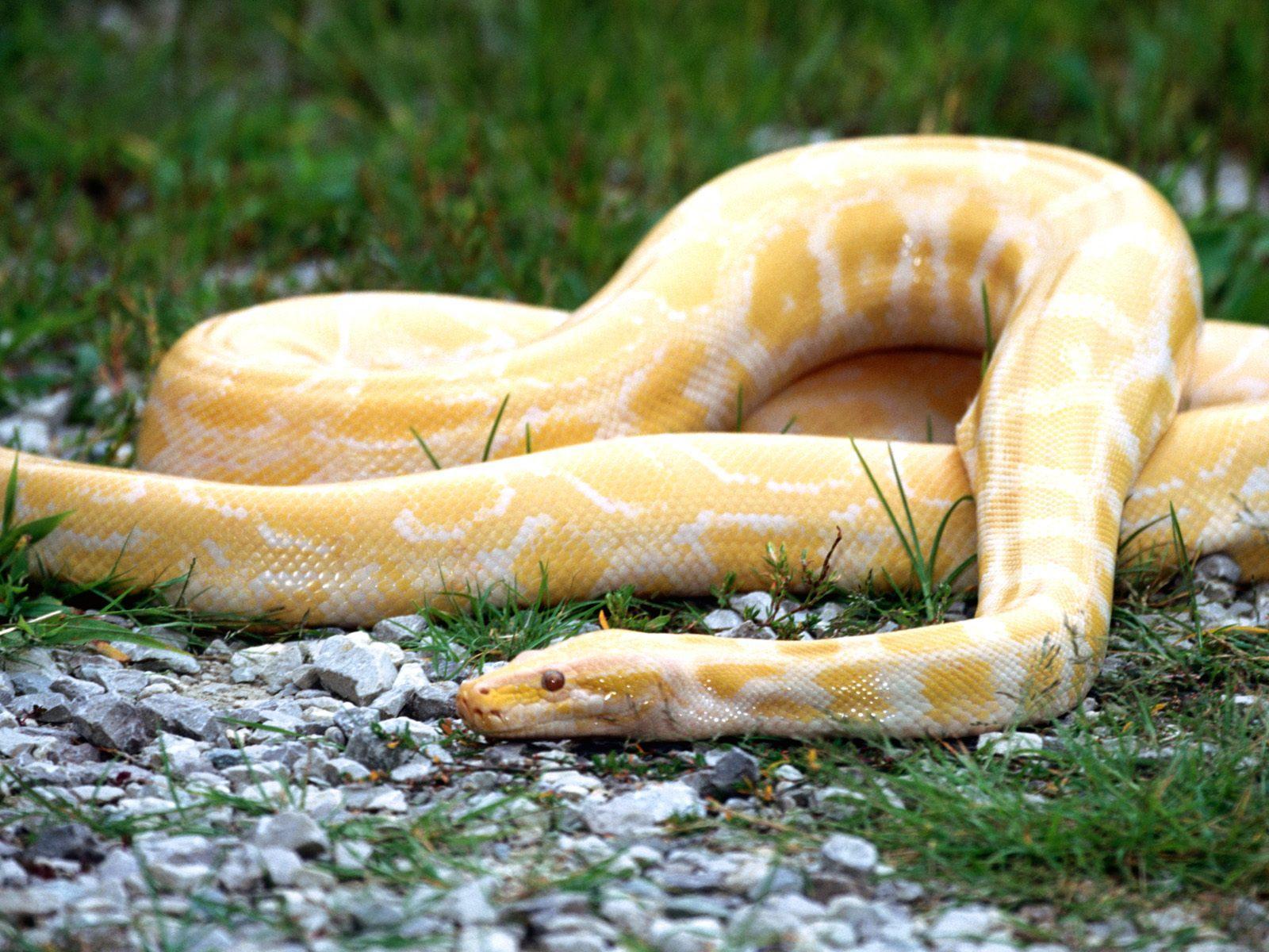 http://3.bp.blogspot.com/-hVcPyhdMHSI/TleO-dgxIkI/AAAAAAAABRQ/tZjUfkC64L4/s1600/white+snake+wallpaper.jpg