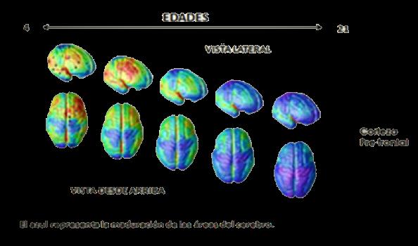 Hechos del desarrollo del cerebro adolescente