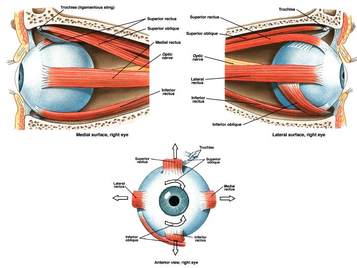 medical transcription: eye muscles, Human body