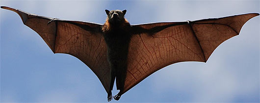 Giant Golden-crowned Flying Fox | Animals Library