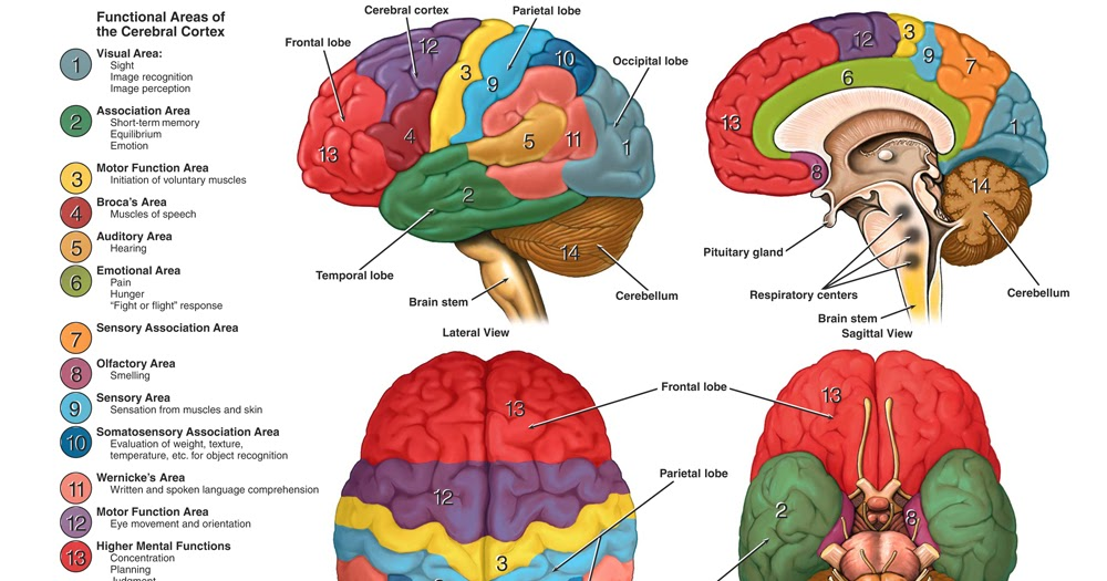 Biology Diagrams Images Pictures Of Human Anatomy And Physiology  Brain External Picture