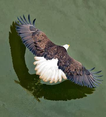 Águila volando a ras de agua, desde arriba