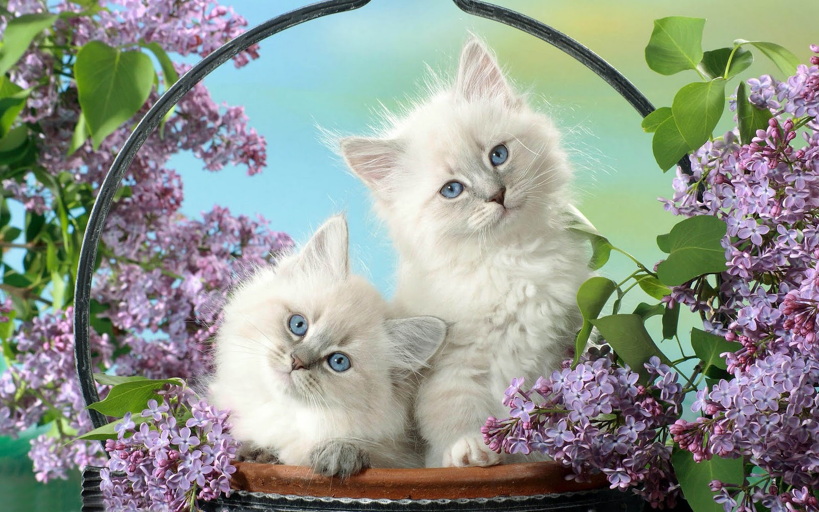 Kitten Achtergronden HD Wallpapers
