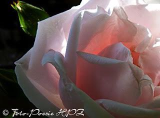 http://hpz-fotografie.blogspot.ch/p/rosentraume.html