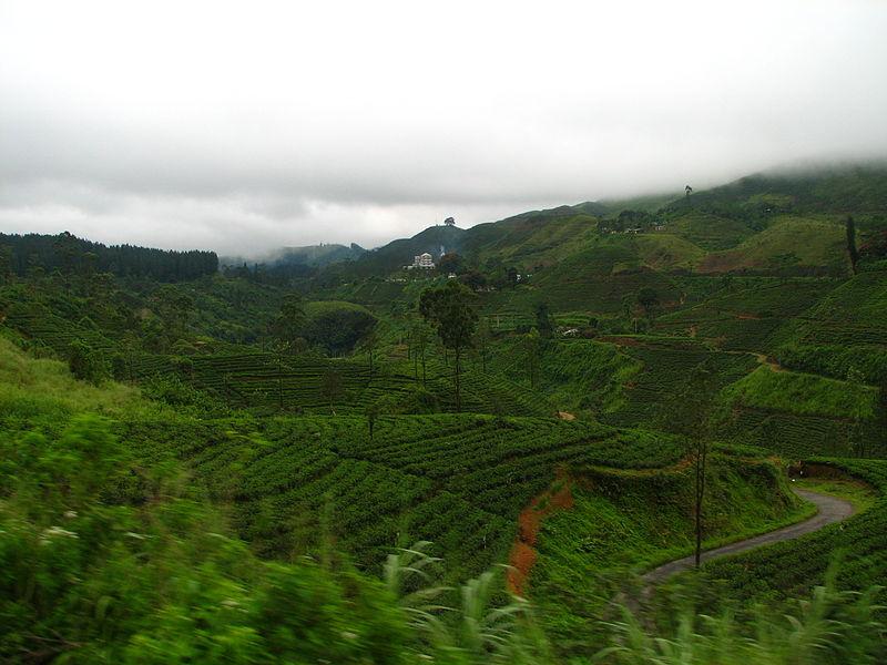 錫蘭紅茶種植