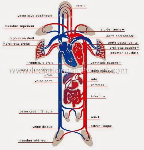 Anatomie cardio-vasculaire | Récap\' IDE