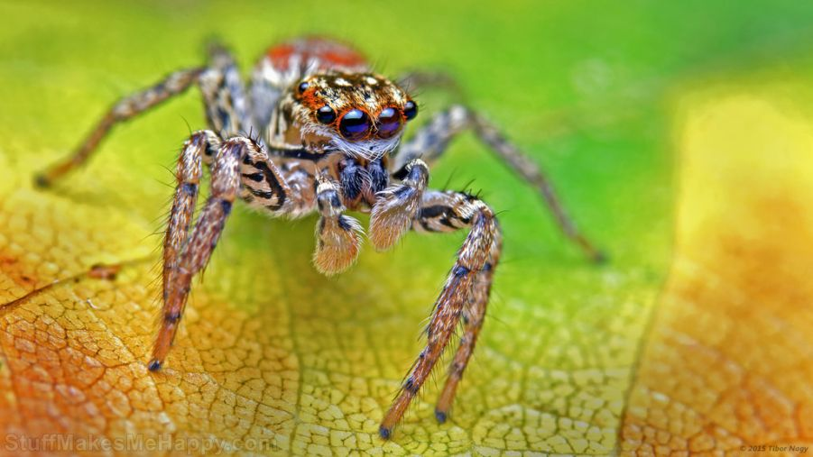 Maevia inclemens dimorphic jumping spider 2