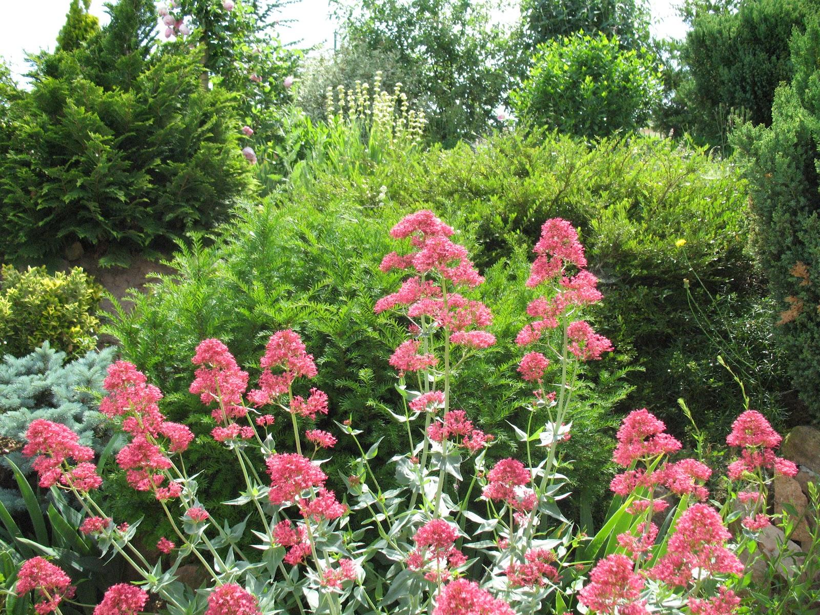 "Roses du jardin Chªneland Valériane "" Centranthus Ruber"""