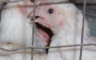 penggunaan pakan pada ayam broiler