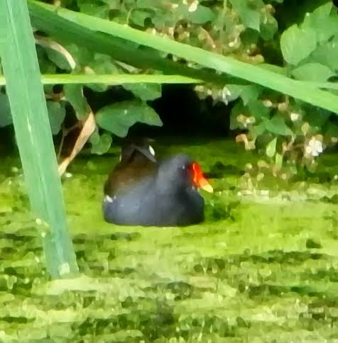 Moorhen! - July 2014