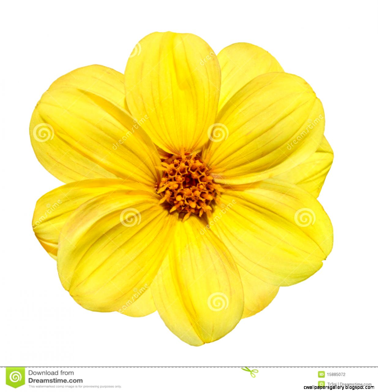 Yellow Dahlia Flower Isolated On White Background Stock