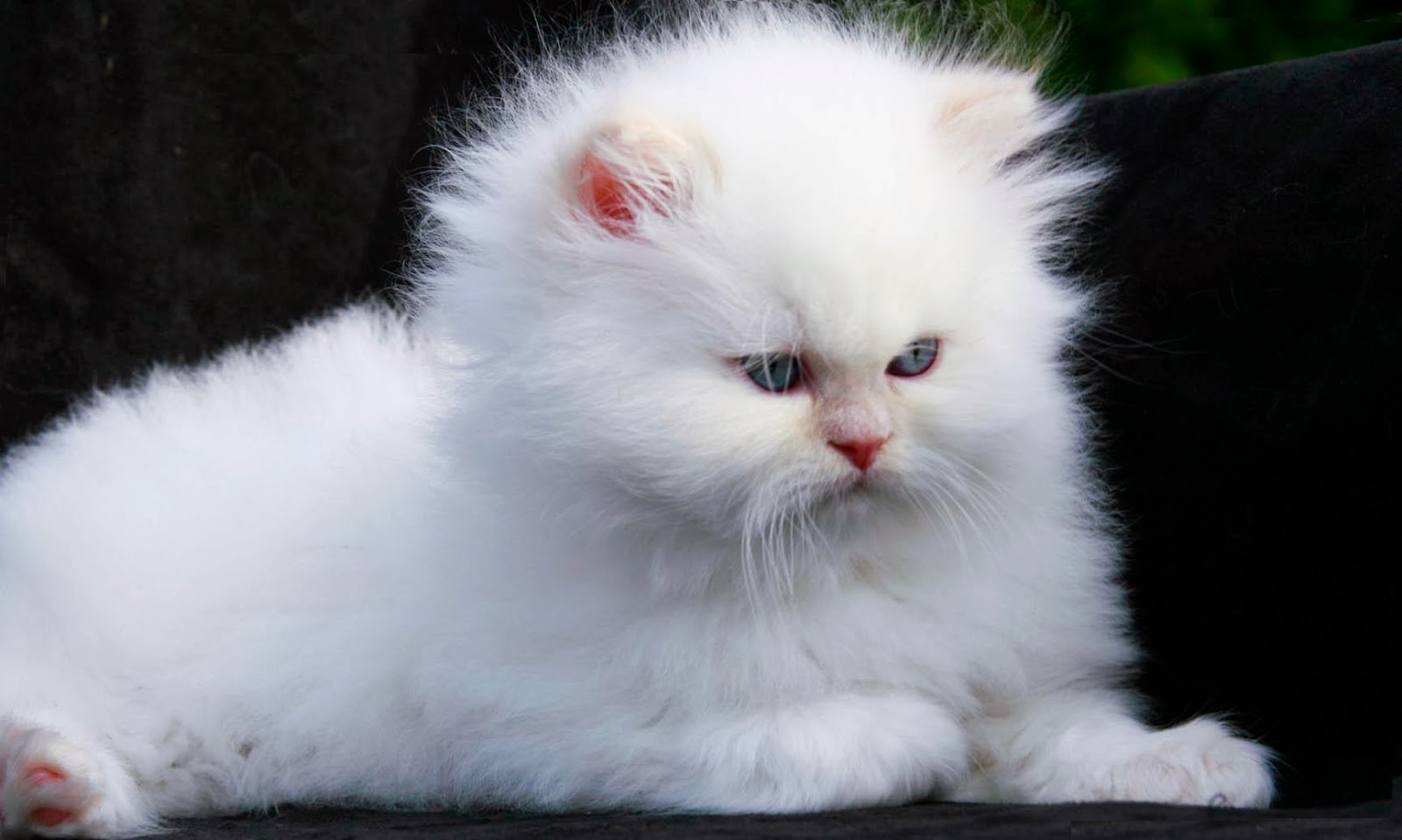 White Persian Cat Wallpapers ~ Free HD Desktop Wallpapers ...