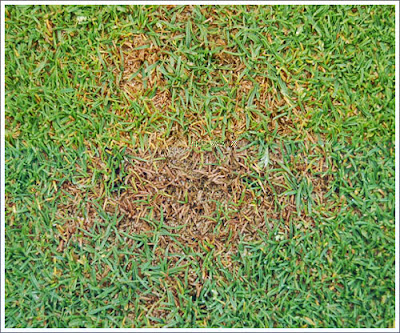 anthracnose lawn and turf disease